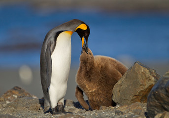 King penguin feeding young one with clean blue background, South Georgia Island, Antarctica