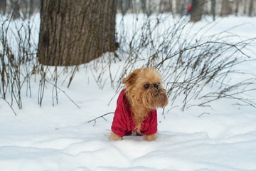 Dog walks in the winter