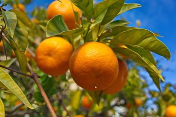 Bitter orange from the south of France. Oranges amères du sud de la France.