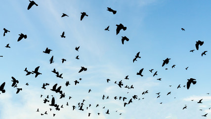flock of birds siluated flying in the air away from viewer