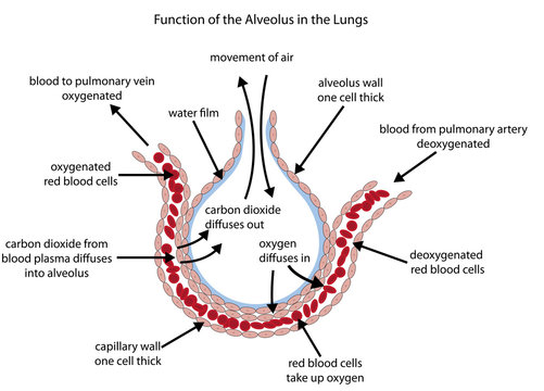 Fully labelled diagram of the alveolus in the lungs showing gaseous exchange.