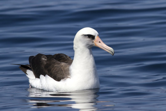 Laysan albatross that sits on the waters of the Pacific Ocean