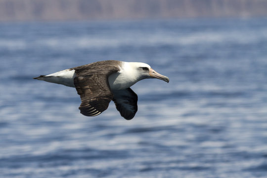Laysan albatross that flies over the waters