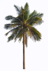 Coconut palm tree isolate on white background.