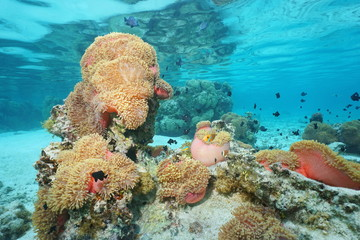 Magnificent sea anemone with fish French polynesia