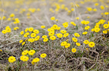 Coltsfoot flower, spring meadow