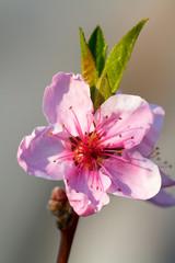 Delicate peach blossom in the spring. Macro.