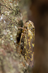 Idiocerus herrichi leafhopper. A large and rather striking bug in the family Cicadellidae, on a willow tree
