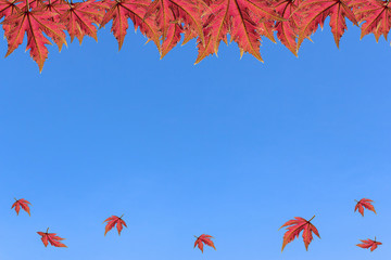 maple on clear sky