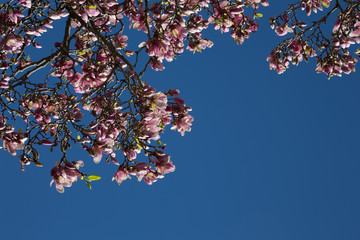 Pink Japanese Magnolia blossoms and new leaves with a clear blue sky background
