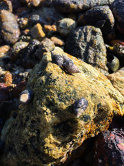 Mollusks and barnacle living on the stone
