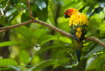 vivid colorful sun parakeet parrot sitting on branch in the tropical jungle in singapore bird park