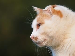 耳の折れた猫の横顔