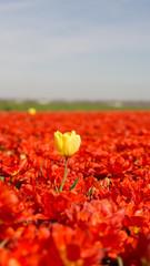 Aluminium Prints Tulip A single yellow tulip between all red!