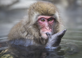 Close up of snow monkey sitting in a hot spring