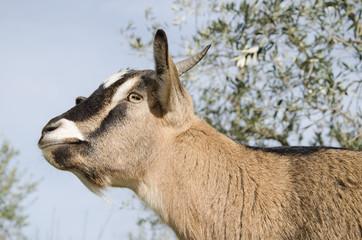 Profilo di una capretta nana