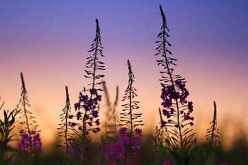 willow-herb flowers at sunset