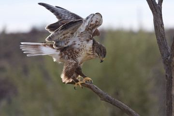 Active ferruginous hawk in Arizona