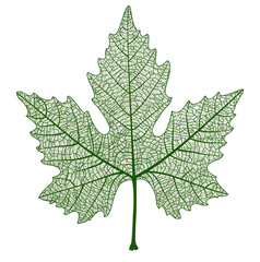 Vector maple leaf isolated. Realistic illustration for your design.
