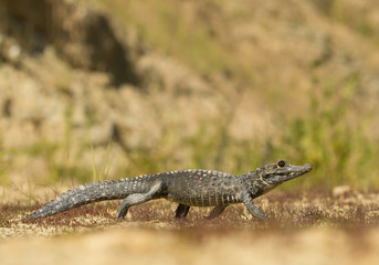 Dwarf crocodile walking, with clean background, Czech Republic
