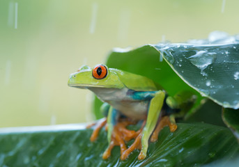 Red eye tree frog on the leaves, rainy day, clean green background, Czech Republic