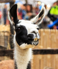Llama smiling portrait.