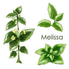melissa herbaceous plant. Herbs design.