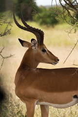 adult male watchful impala in serengeti national park, tanzania