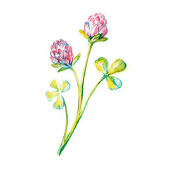 Watercolor drawing of a blooming clover isolated on a white background