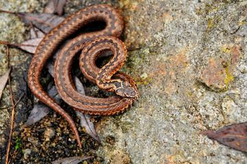 dangerous snake viper on rock, reptile