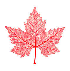 Realistic red maple leaf isolated on white background. Vector eps10 illustration.