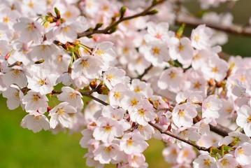 桜咲く春.