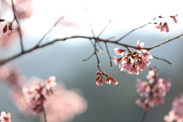 spring sakura pink flower in close up