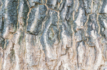 Closeup surface skin of trunk of tree texture background