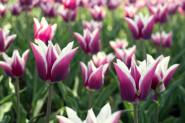beauty tulip flower