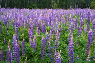 Field of purple lupine