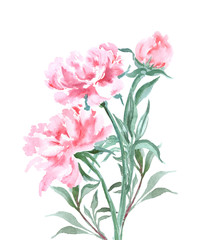 Watercolor blooming peonies. Hand drawn vector illustration. Spring or summer design for invitation, wedding or greeting cards.