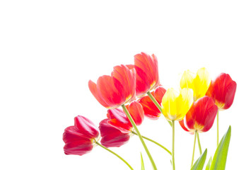 Bunch of red and yellow tulips on a white background with space for text