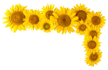 Sunflower isolated for design