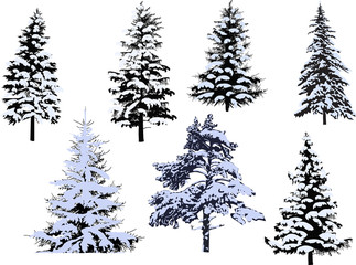 seven winter firs isolated on white background