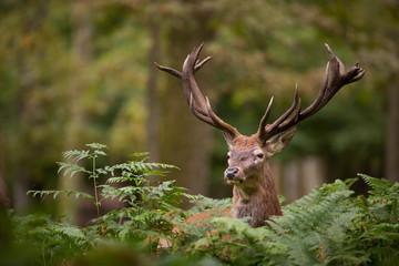 cerf brame cervidé mammifère roi forêt bois cor chasse sauvag