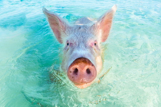 One swimming pig in the Bahamas