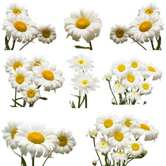Collection of flowers white daisy