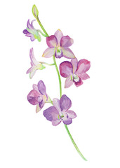 Watercolor illustrations of orchid flower isolated on white background.