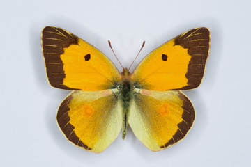 Male of Clouded yellow, Colias croceus  butterfly