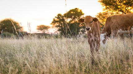 Cow Calf Grazing