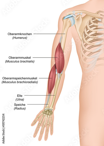 Anatomie Musculus brachialis ,- brachioradialis\