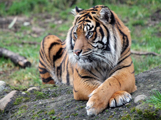 Sumatran Tiger with Legs Crossed