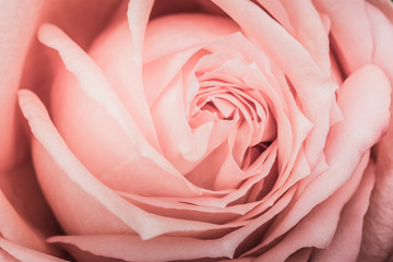 Closeup of a pink rose