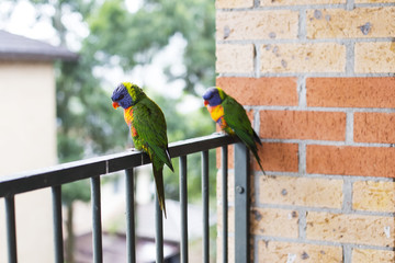 Parrots on fence in Sydney